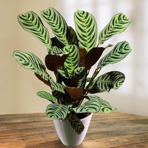 Never Never Plant - Indoor House Plants