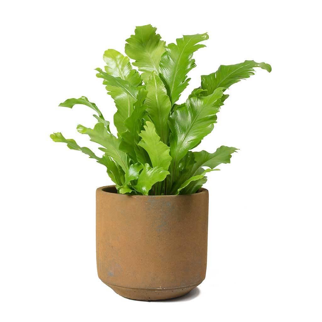 Asplenium nidus Campio - Indoor House Plants, Air purifying ... on licorice fern, alocasia house plant, ostrich fern, cyathea cooperi, asplenium australasicum, sensitive fern, philodendron house plant, spanish moss house plant, peperomia house plant, philodendron gigas, philodendron hederaceum, asplenium antiquum, asplenium trichomanes, asplenium serratum, hart's-tongue fern, justicia brandegeeana, giant salvinia, ficus elastica, spathiphyllum house plant, sansevieria trifasciata, cinnamon fern, boston fern, fittonia house plant, philodendron domesticum, monstera house plant,