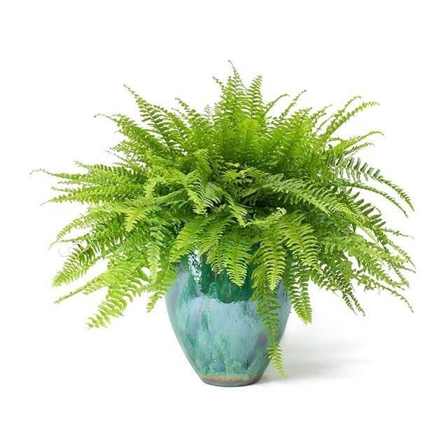 Boston Fern (Nephrolepis exaltata Bostoniensis) - Indoor House Plants
