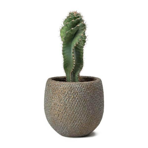 Cereus forbesii spiralis (Spiraled Cereus) - Cactus garden