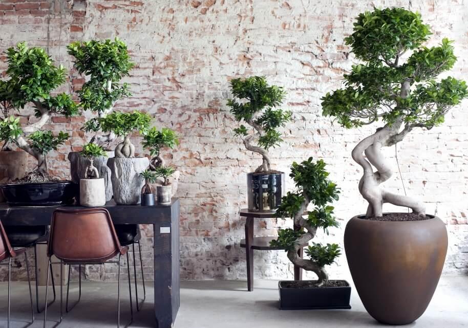 Ficus Ginseng Indoor Plants