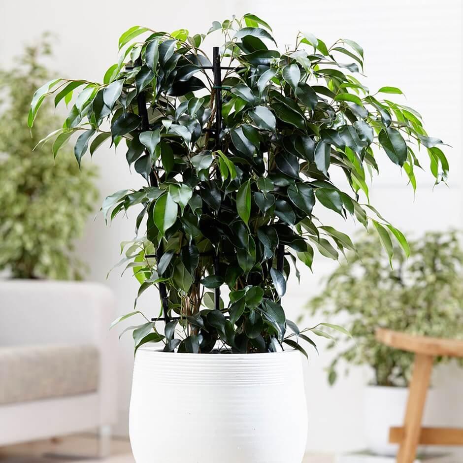 Ficus benjamina Danielle (Weeping Fig) - Indoor House Plants