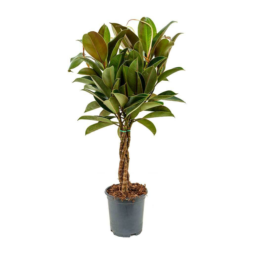 Ficus elastica Melany (Rubber Plant) - Indoor House Plants