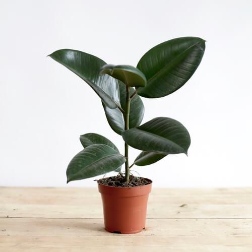 ficus elastica robusta rubber plant indoor house plants. Black Bedroom Furniture Sets. Home Design Ideas