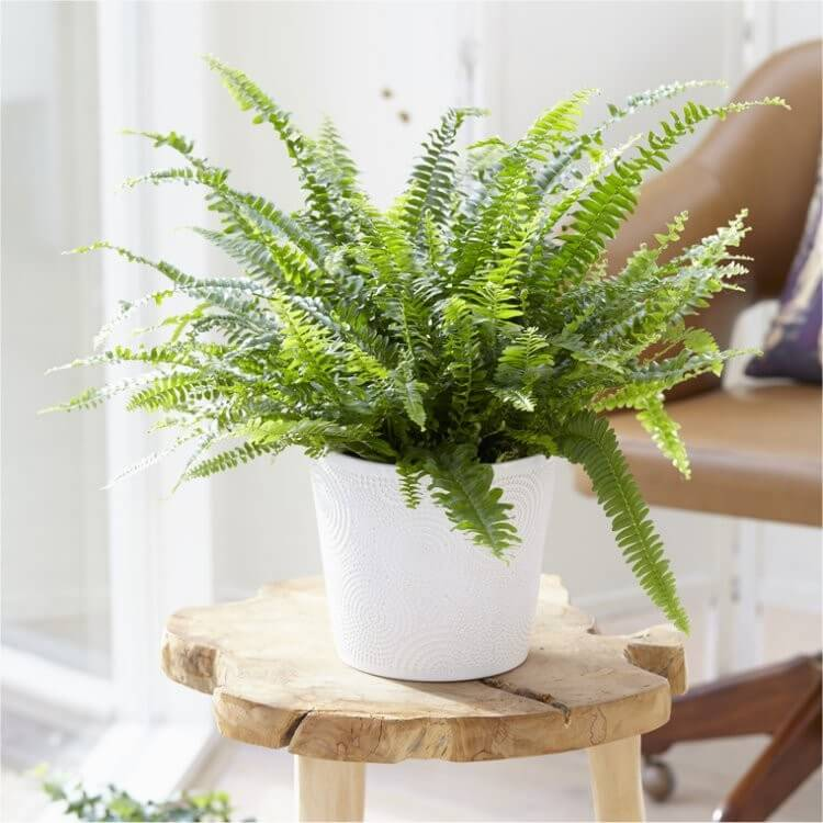 Nephrolepis exaltata Green Lady - Indoor House Plants