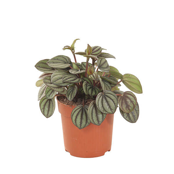 Peperomia Piccolo Banda - Indoor House Plants