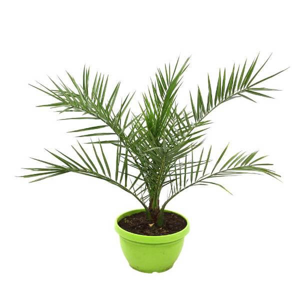 Phoenix canariensis - Indoor House Plants