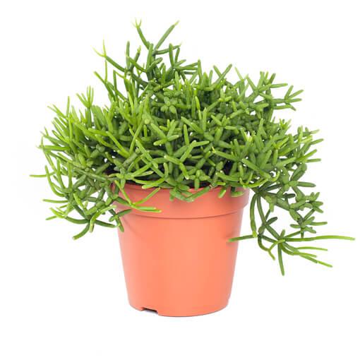 Mistletoe Cactus | Rhipsalis heteroclada - Indoor Plants