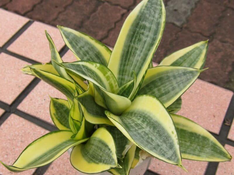 Sansevieria trifasciata Golden Hahnii - Indoor Plants