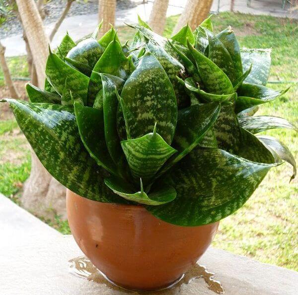 Sansevieria trifasciata Hahnii - Indoor Plants