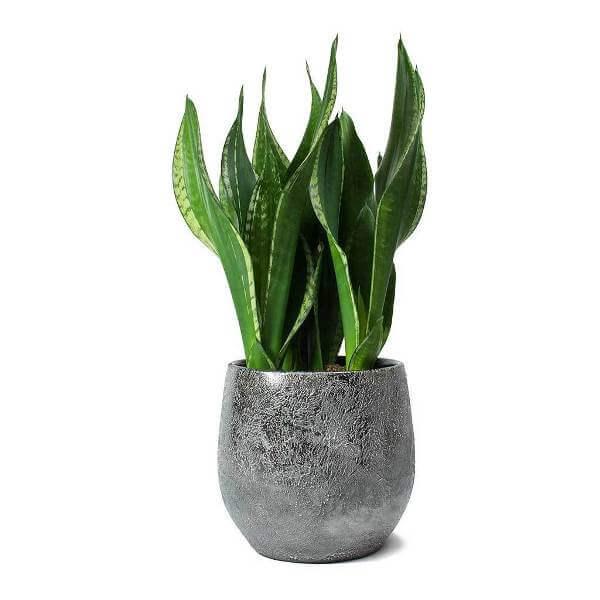 Sansevieria zeylanica Silver Flame - Indoor Plants