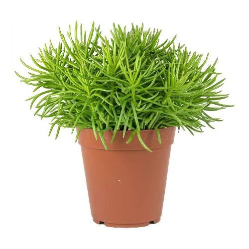 Senecio barbertonicus Himalaya - Indoor Plants