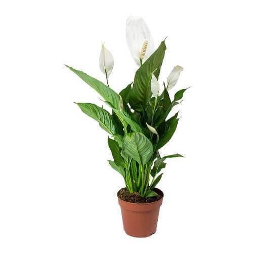 Spathiphyllum Wallisii Lima Peace Lily Indoor Plants