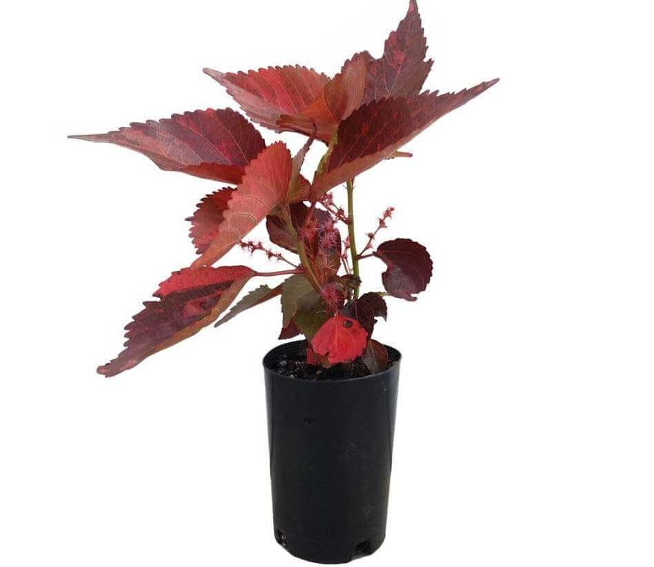 Copper Leaf Plant Acalypha Wilkesiana House Plants