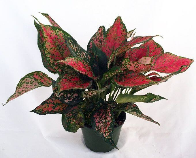 Aglaonema Red Valentine (Chinese Evergreen) - Indoor Plants