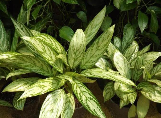 Aglaonema commutatum (Chinese Evergreen) - Indoor Plants