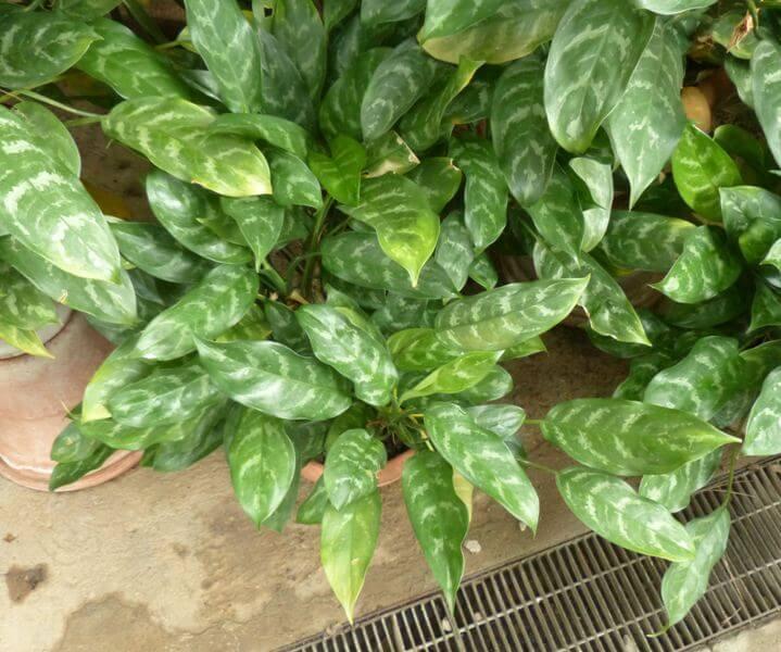 Aglaonema commutatum Schott (Chinese Evergreen) - Indoor Plants