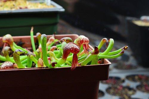 California Pitcher Plant (Darlingtonia californica) - House Plants