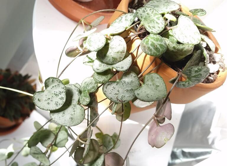 Rosary vine (Ceropegia linearis woodii) - Indoor Plants