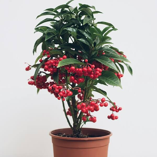 Christmas Berry (Ardisia crenata) - Indoor Plants
