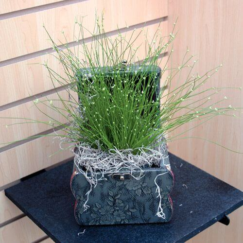 Fiber Optic Grass Isolepis Cernua House Plants