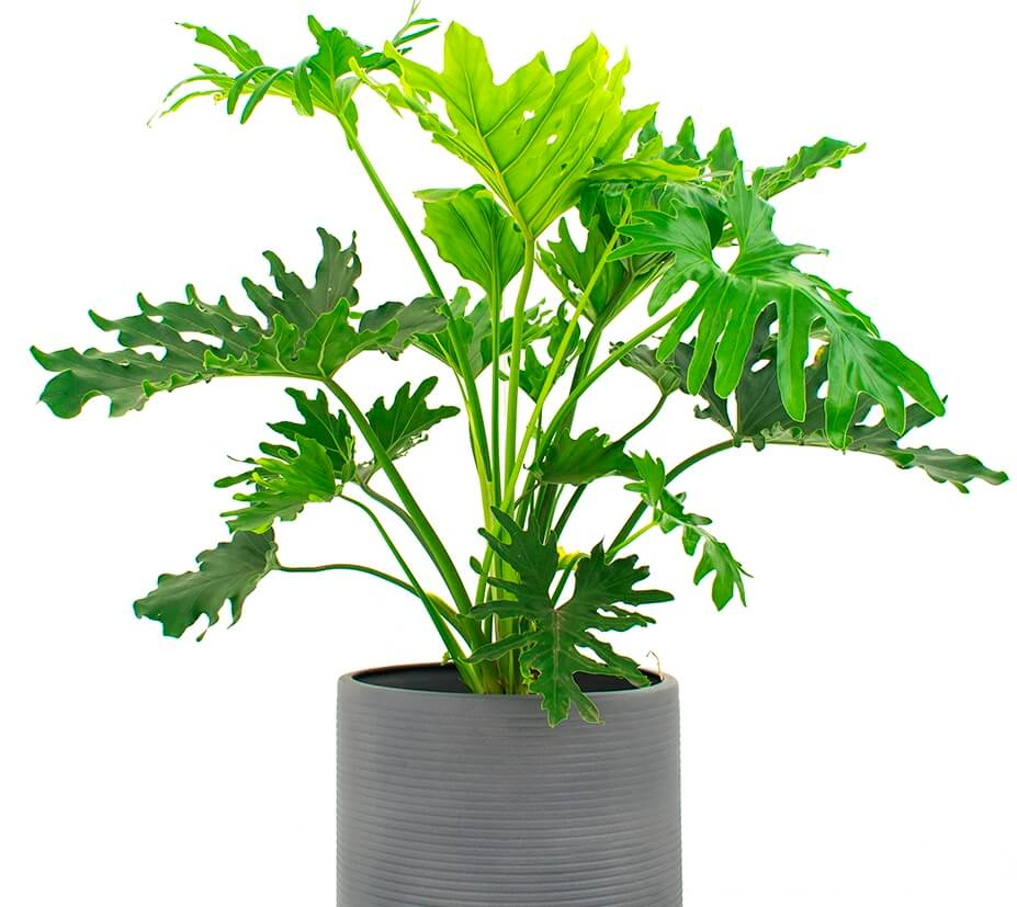 Philodendron Black Cardinal - Indoor Plants, Air purifying