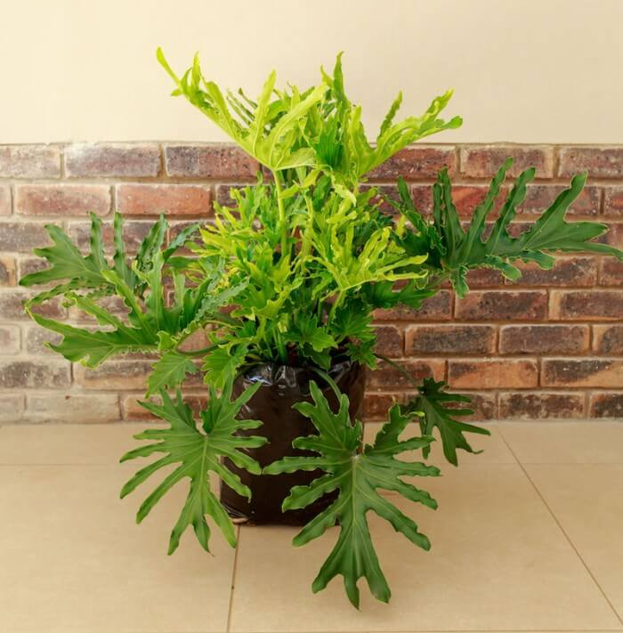 Philodendron Lickety Split - Indoor Plants