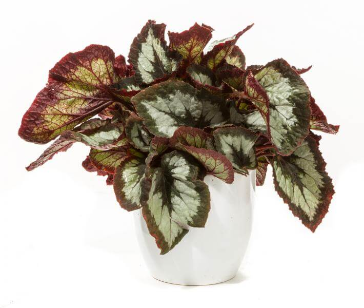 Rex Begonia   Begonia rex hybrids - Indoor Plants