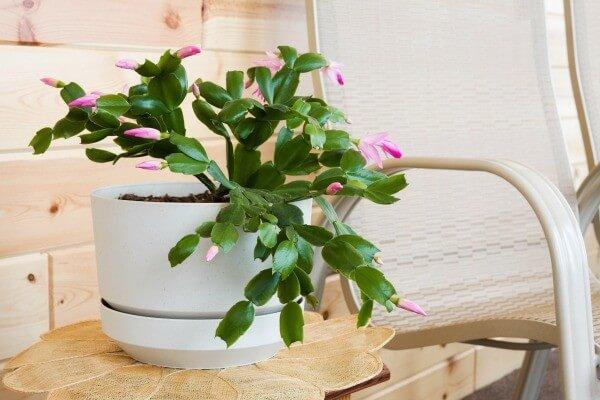 Christmas Cactus (Schlumbergera bridgesii) - Flowering plants