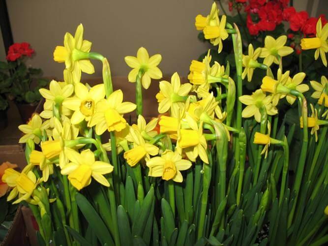 Jonquil (Narcissus jonquilla) - Flowering plants