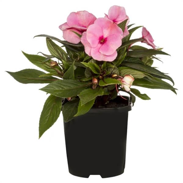 New Guinea Impatiens (Impatiens hawkeri) - Flowering plants