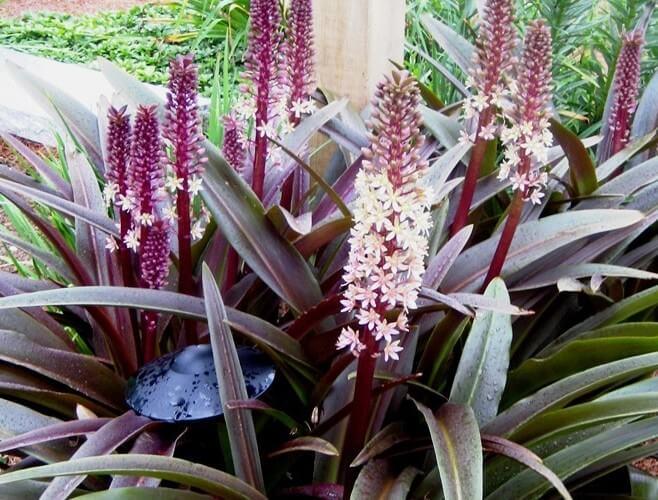 Pineapple Lily (Eucomis comosa) - Flowering plants