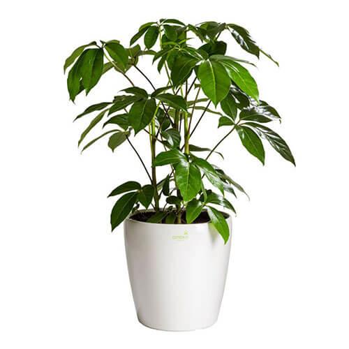 Schefflera - Indoor Plant