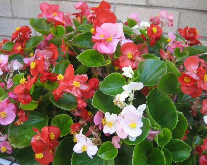Wax Begonia - Flowering plants