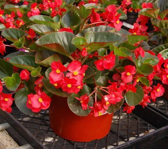 Wax Begonia Begonia X Semperflorens Cultorum Flowering