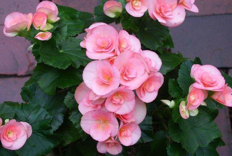 Begonia (Begonia x hiemalis) – Flowering plants