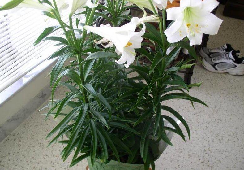 Easter lily (Lilium longiflorum) - Flowering plants