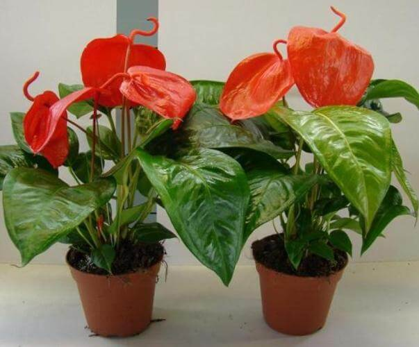 Flamingo Flower - Flowering plants