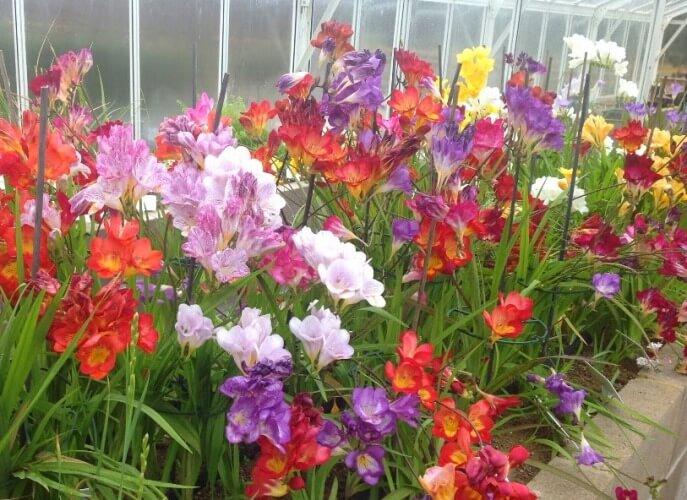 Freesia (Freesia hybrids) - Flowering plants
