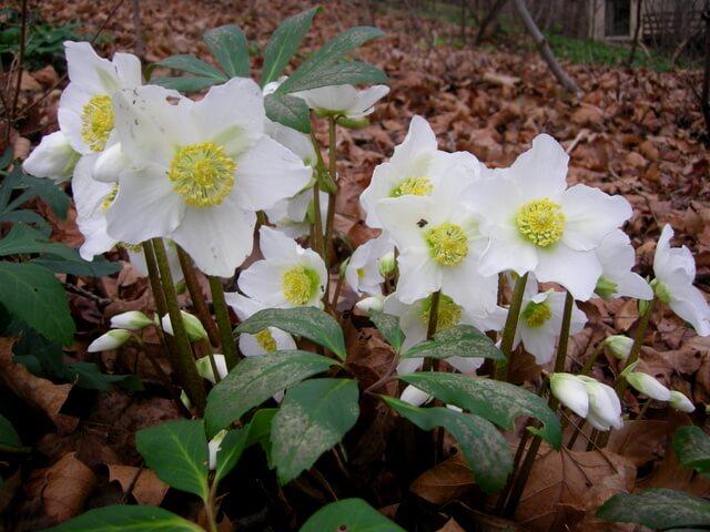 Hellebore (Helleborus niger) - Flowering plants