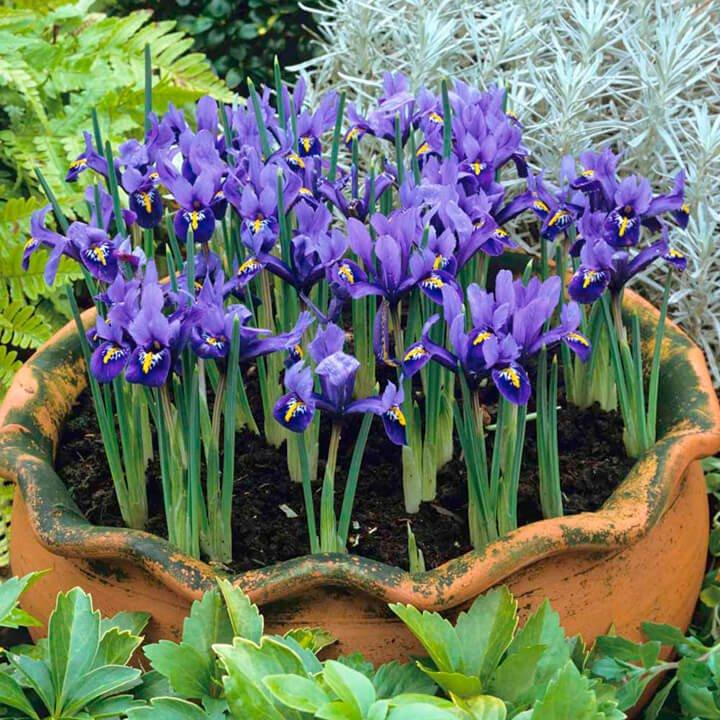 Iris reticulata (Netted iris) - Flowering plants