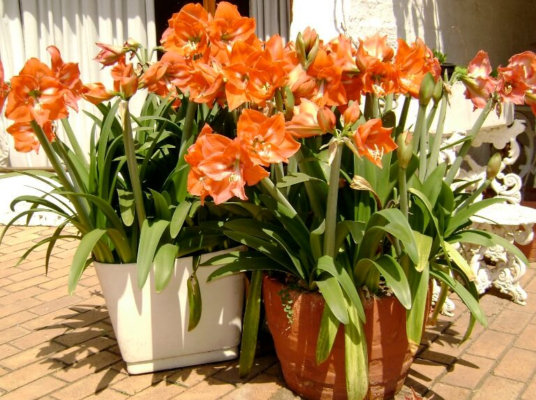 Amaryllis - Flowering plants