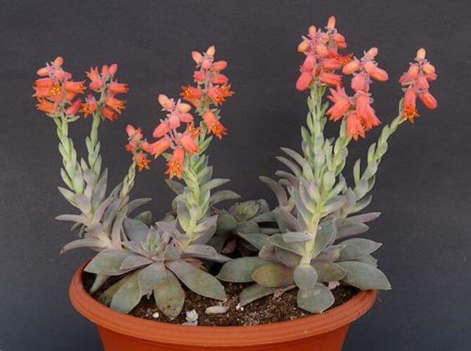Echeveria carnicolor is an attractive succulent plant. It can grow up to 6 cm tall, with short stems and very flat rosettes up to 12.5 cm in diameter. It has fleshy leaves that are elongated or elliptical, gray-green with whitish margins and reddish coloration in high light conditions, up to 10 cm long and up to 3 cm wide. The flowers are orange-red and arranged in racemose inflorescence.