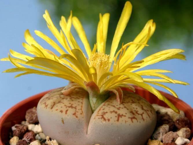 Truncate living stone - Succulent plants