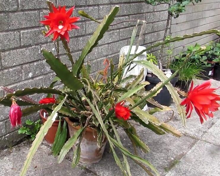 Orchid Cactus - Cactus garden