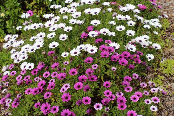 Osteospermum - Flowering plants