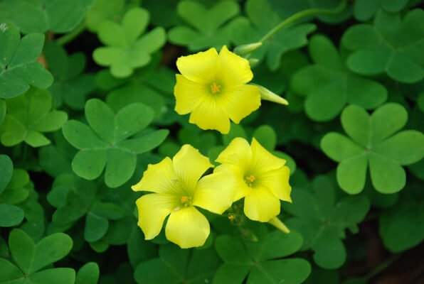 Oxalis albicans (Radishroot woodsorrel) - Flowering plants