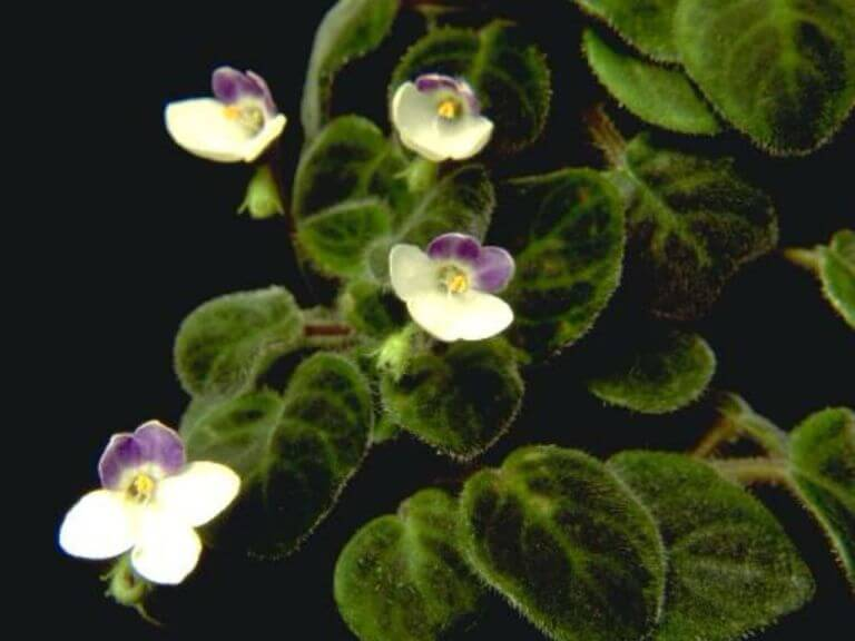 Saintpaulia goetzeana (African Violet) - Flowering plants