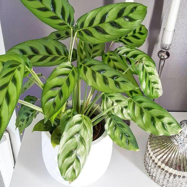Calathea leopardina - Indoor Plants