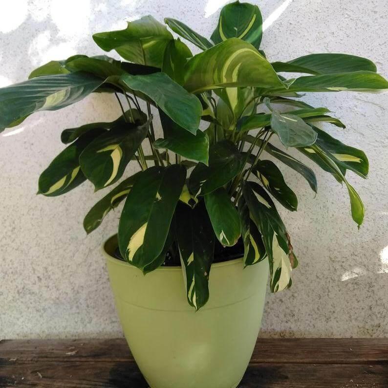 Ctenanthe lubbersiana 'Variegata' - Indoor Plants